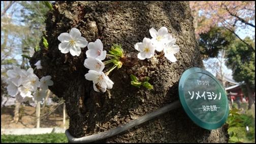 上野公園のソメイヨシノの画像