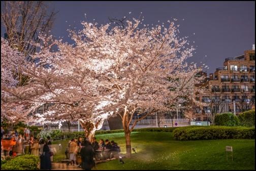 毛利庭園の夜桜画像