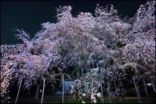 六義園の夜桜画像