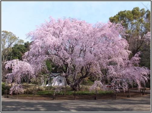 六義園のしだれ桜の画像