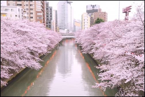 目黒川と桜の画像