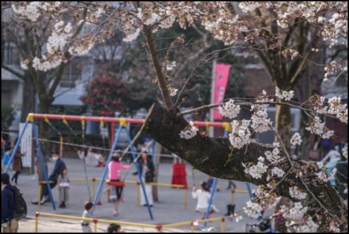 隅田公園と桜の画像