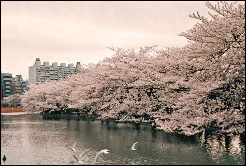 上野公園の桜の画像