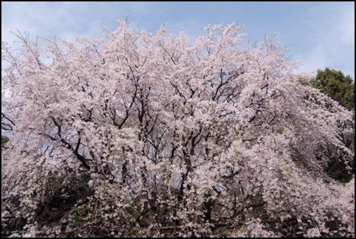 六義園の桜の画像