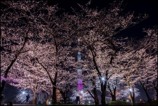 隅田公園の桜のライトアップ画像