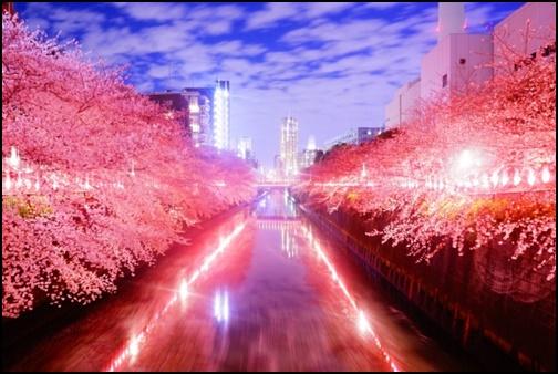 中目黒川の桜のライトアップの画像