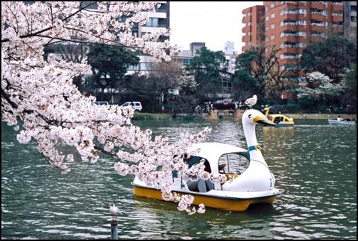 上野公園と不忍池と桜の画像