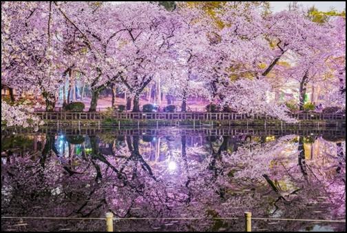 井の頭恩賜公園の夜桜の画像