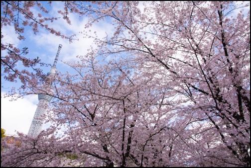 隅田公園の桜の画像