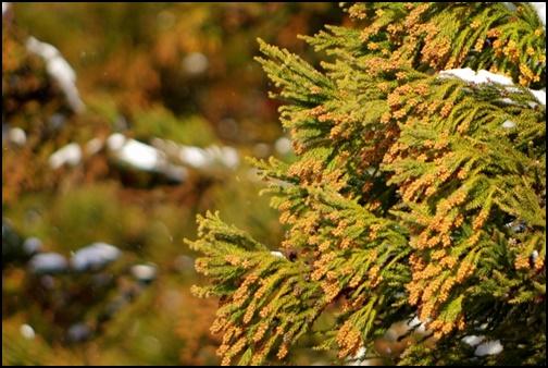 スギ花粉の画像