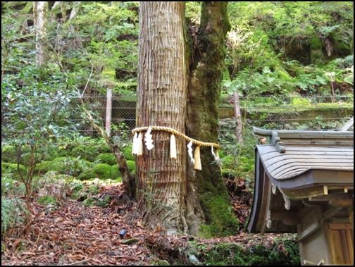 連理の杉の画像