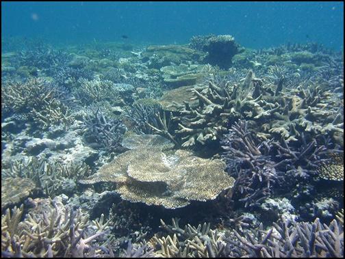 八重干瀬のサンゴ礁の画像