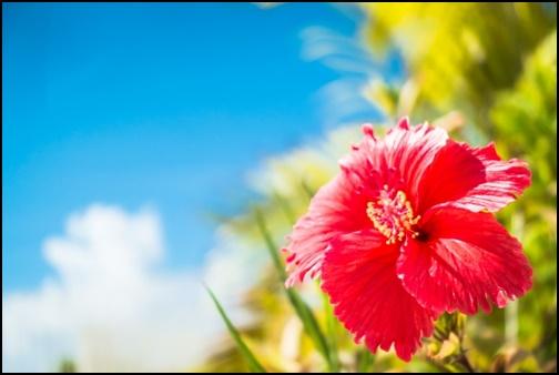 沖縄のハイビスカスの画像