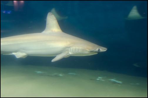 サメの画像