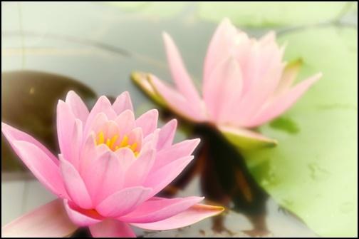ピンクの蓮の花の画像