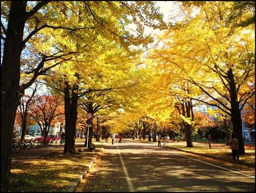 北海道大学のイチョウ並木の画像