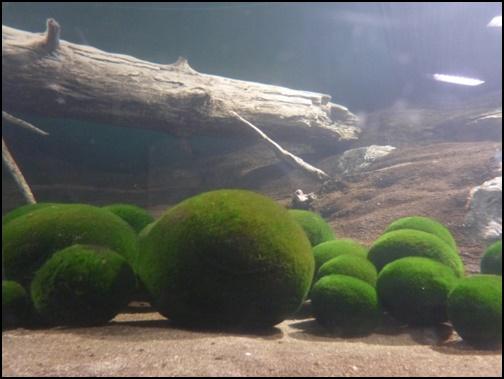 阿寒湖のマリモの画像