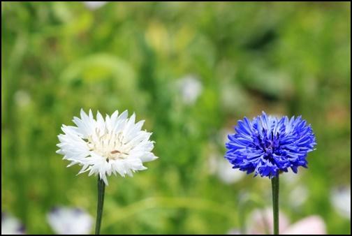 白の青の花の画像