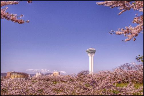 桜と五稜郭タワーの画像