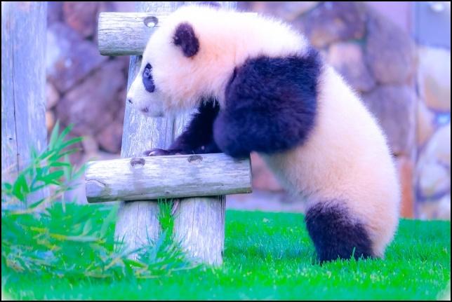 赤ちゃんパンダが木の椅子に上る画像
