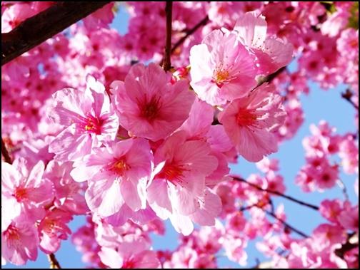 寒緋桜の画像