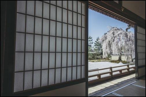 高台寺の庭の桜の画像