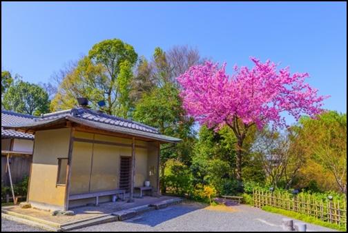 高台寺の桜の画像
