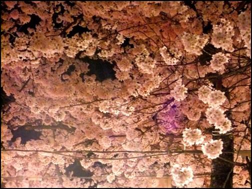 円山公園の夜桜のライトアップ画像