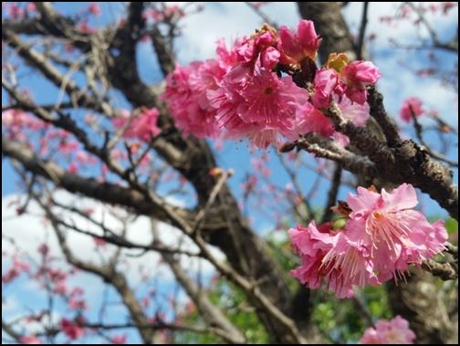 沖縄の桜の画像