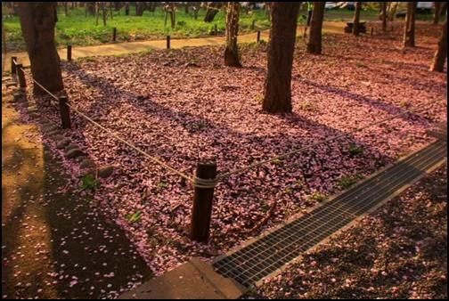 桜が散って敷き詰められている画像