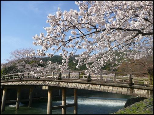 桜と渡月橋の画像