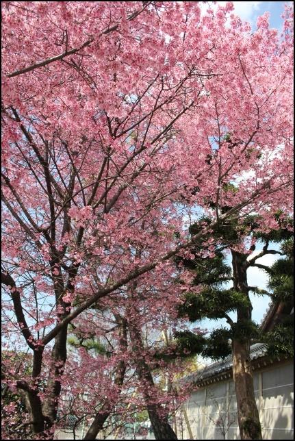 長徳寺のオカメ桜の画像