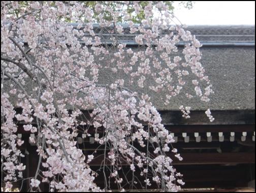 平野神社の桜の画像