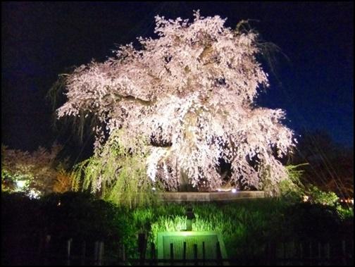 京都円山公園の祇園の夜桜の画像