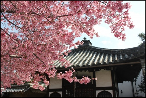 長徳寺のおかめ桜の画像