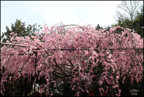 水火天満宮紅しだれ桜の画像