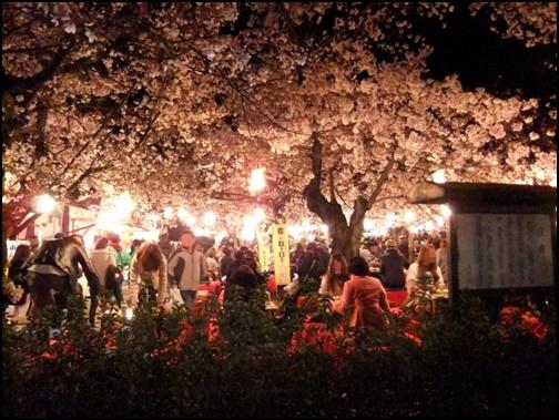 京都円山公園の夜桜画像