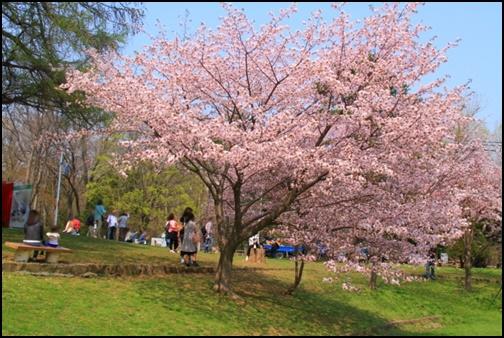 円山公園の桜の画像