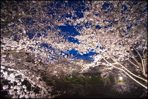 夜桜のライトアップ画像