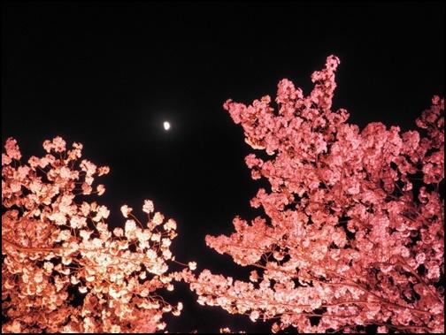 夜桜と月の画像