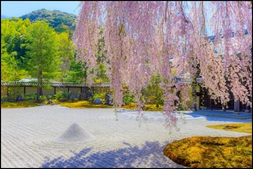 高台寺の枝垂桜と庭の画像