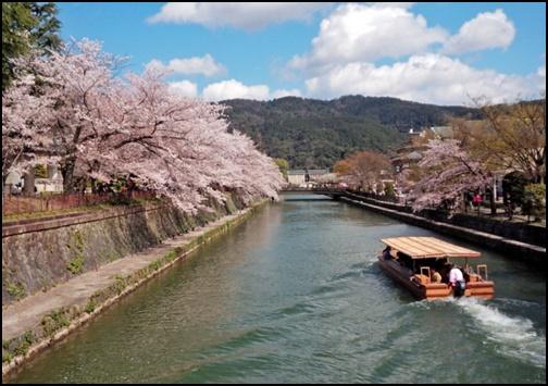 京都の十石舟と桜の画像