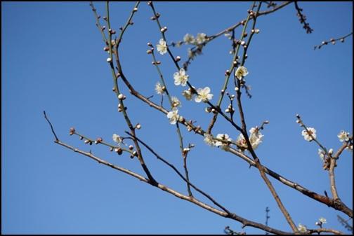 3月の梅の画像