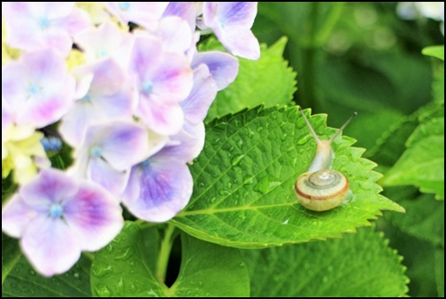 紫陽花とカタツムリの画像