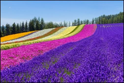 富良野のラベンダー畑の画像