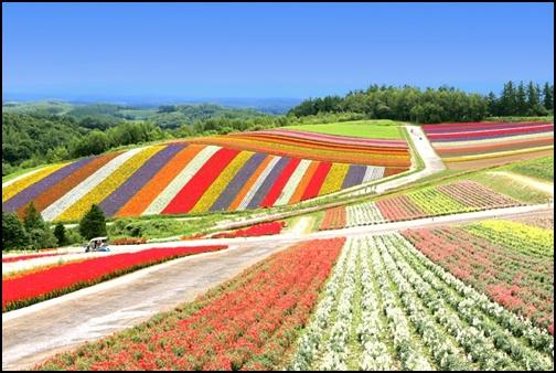北海道の花畑の画像