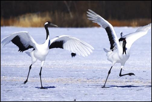北海道の鶴の画像