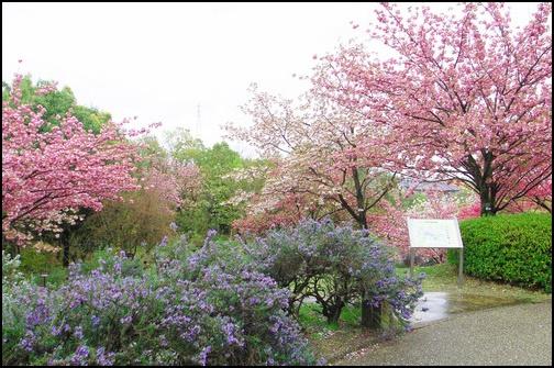 宇治市植物公園 春の佐倉春のゾーンの画像