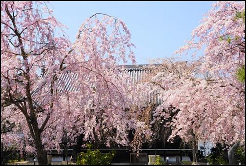 妙満寺の桜の画像