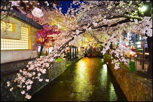 木屋町通りのライトアップされた桜の画像